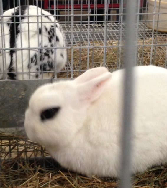 albino rabbit at Topsfield Fair