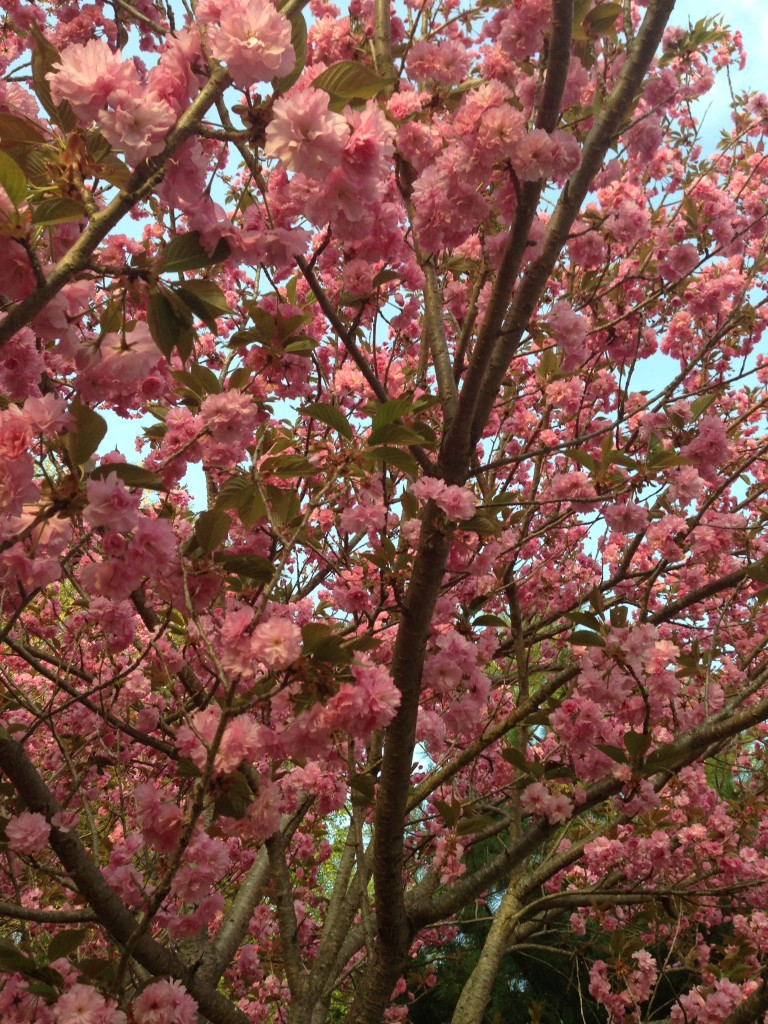 cherry tree in bloom neversaydiebeauty.com @redAllison