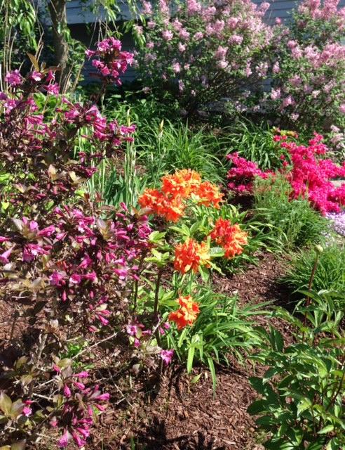 spring shrubs, weigela, Gibralter azelea