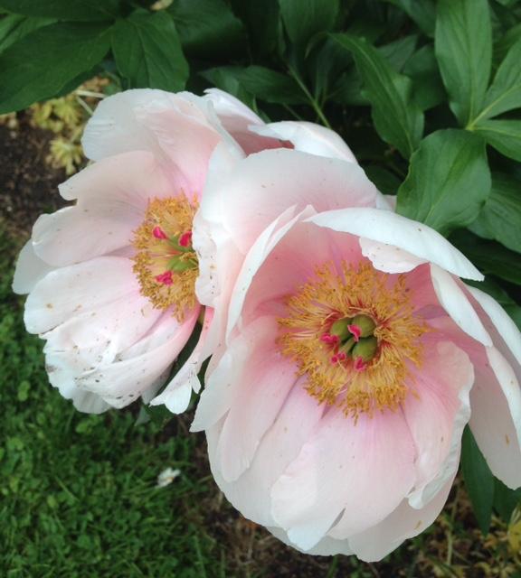 pink, single blossom peony