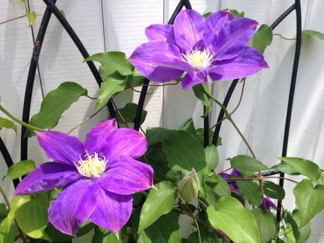 spring perennial vine