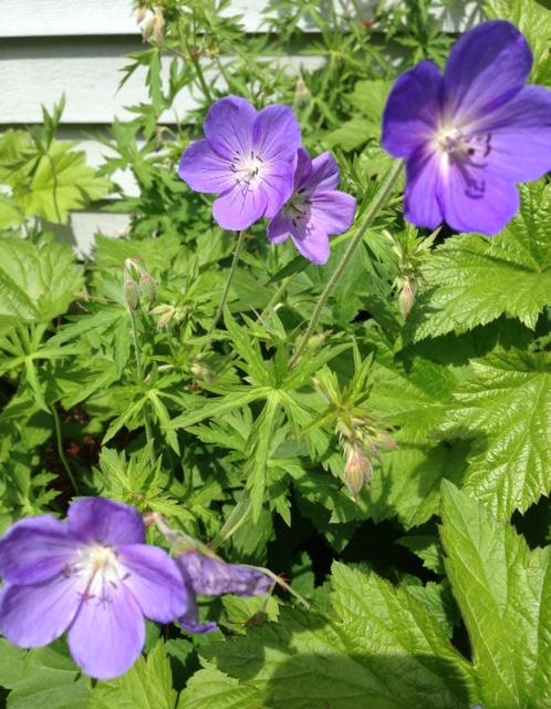 purple-perennial-geranium