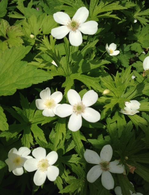 white-spring-anemone