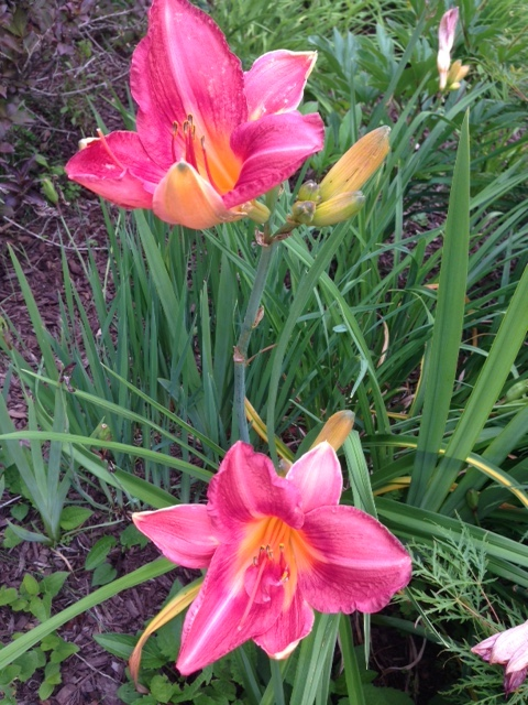 cherry-striped-lilies