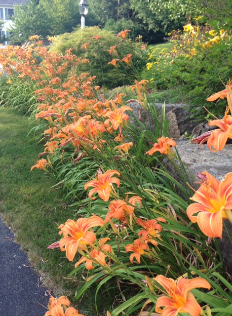 common orange daylilies