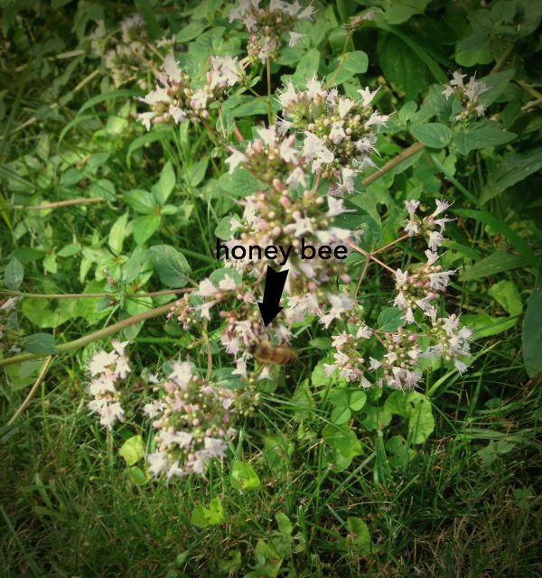 honeybee in the oregano