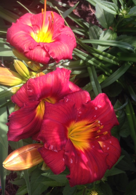 red day lilies