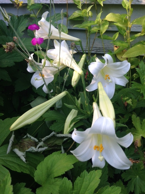 trumpet shaped Easter lilies