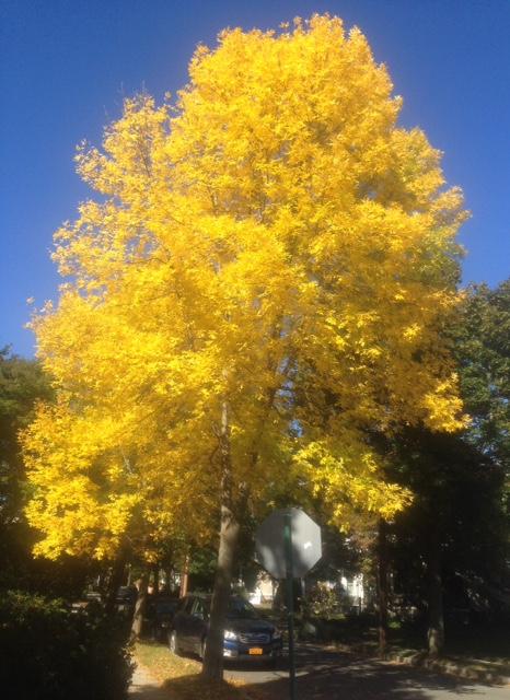tree with yellow foliage neversaydiebeauty.com @redAllison