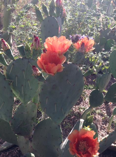 cactus-blooming-closeup