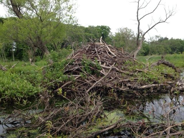 beaver hut on Ipswich River neversaydiebeauty.com @redAllison