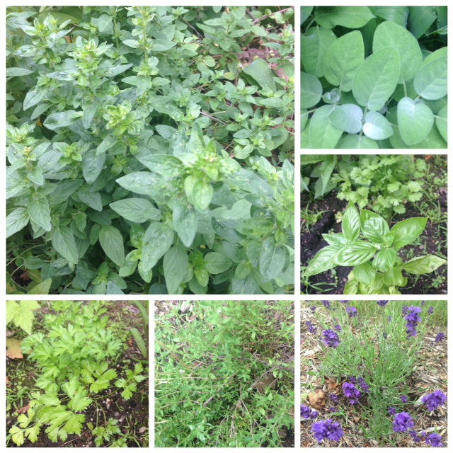 collage made with photos of herbs in my garden: oregano, sage, cilantro, basil, lavender, thyme, parsley