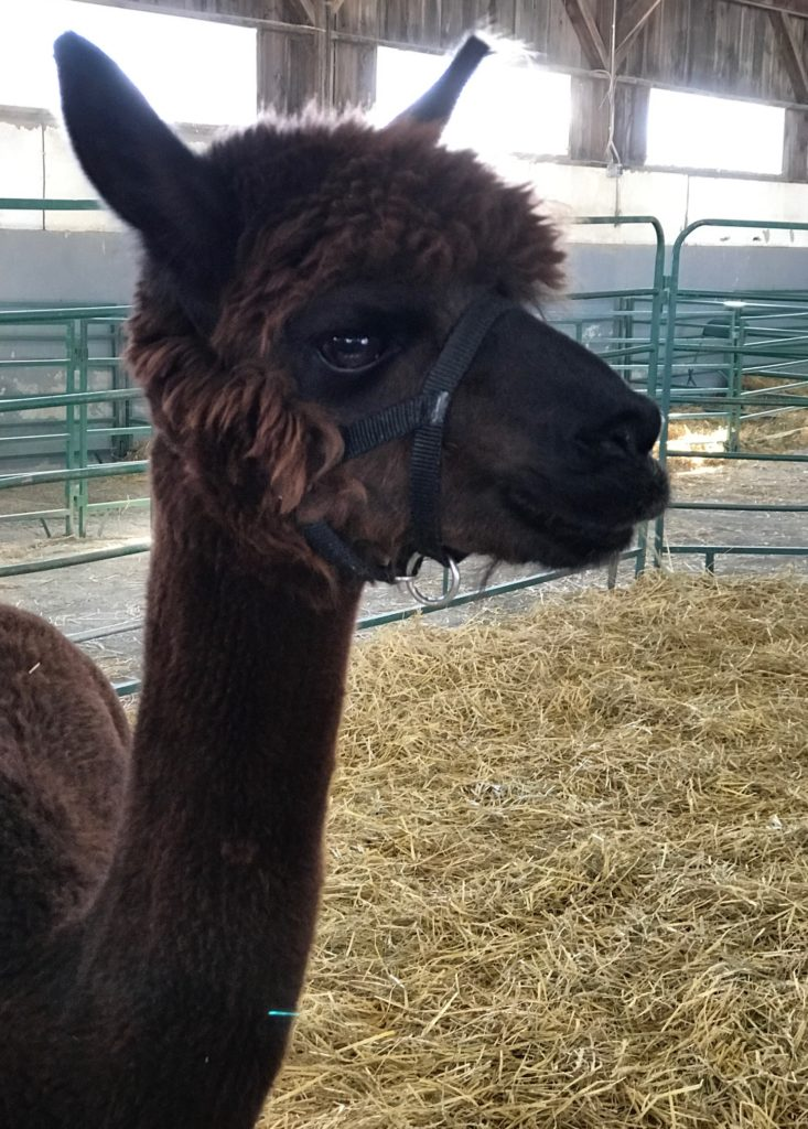 alpaca Topsfield Fair neversaydiebeauty.com