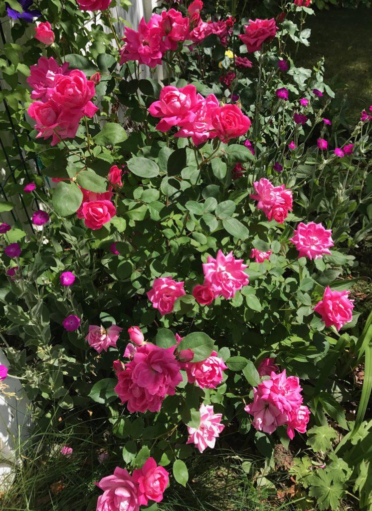 deep pink roses, neversaydiebeauty.com