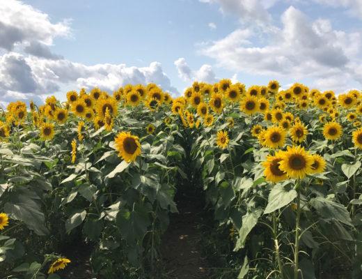 sunflower field at Colby Farm, Newbury MA, neversaydiebeauty.com