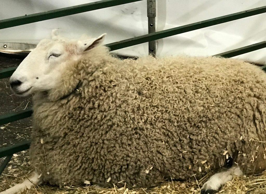 sheep Topsfield Fair 2017, neversaydiebeauty.com